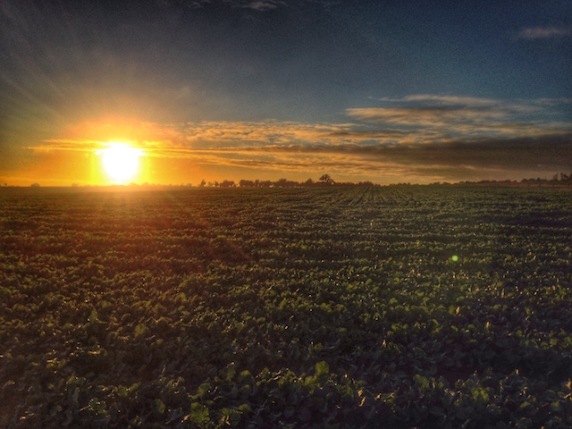 Sunrise over the canola
